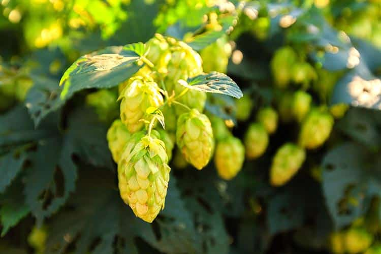 How to grow hops. The complete guide to growing hops at home 1